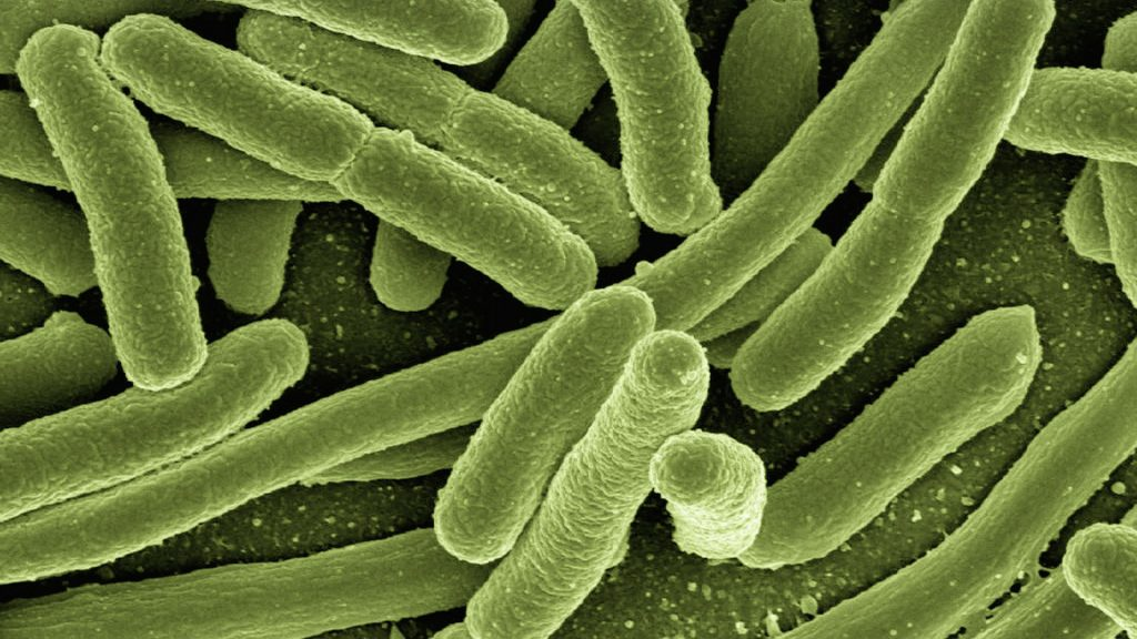 Bactéries escherichia coli